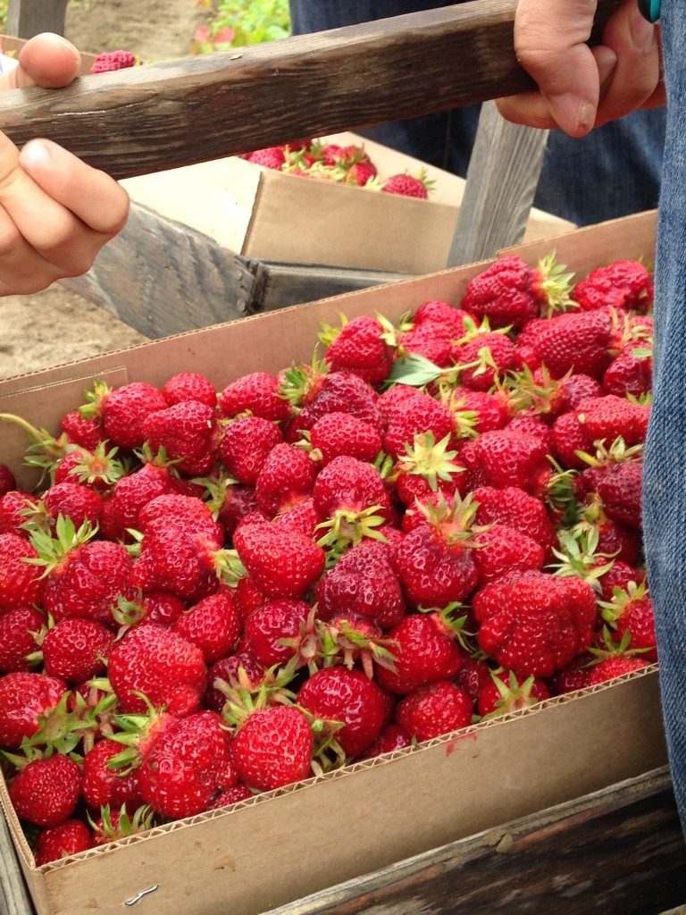 Strawberries-just-picked